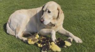 Pies przygarnął dziewięć kaczątek