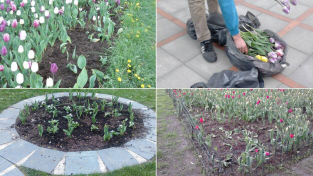 Plaga kradzieży kwiatów. Łupem padają tulipany