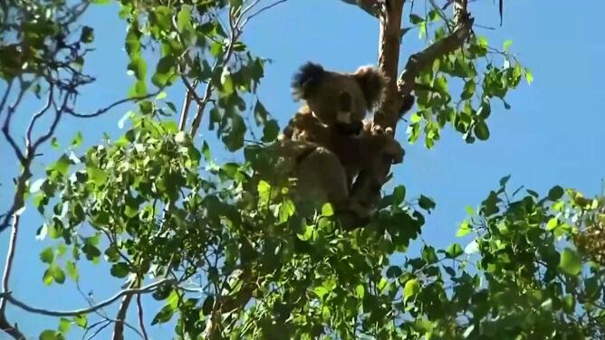 """Koala może wyginąć do 2050 roku. <br />""""To straszne"""""""
