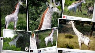 Omo - żyrafa inna od wszystkich. Biało-biały zwierzak o rudej grzywie