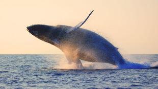 """251 wielorybów zginęło """"w celach naukowych"""". To ostatni sezon takich połowów w Japonii"""
