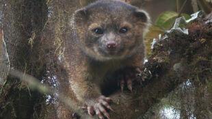 """Nowy drapieżnik odkryty w Andach. """"Przypomina skrzyżowanie kota z pluszowym niedźwiadkiem"""""""